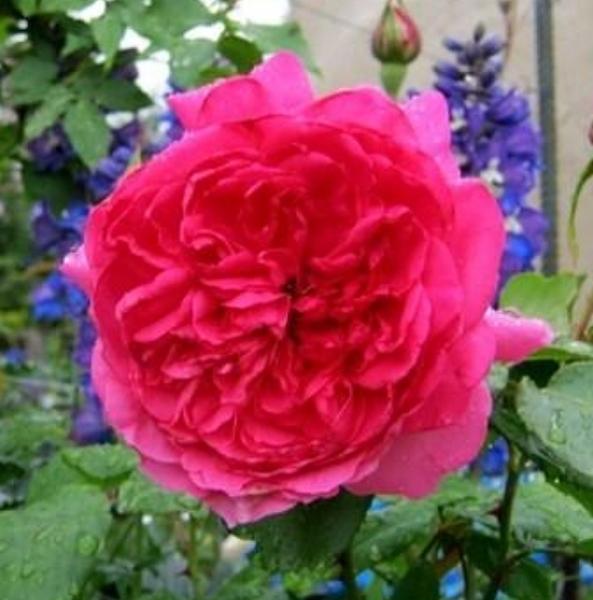 花花世界_玫瑰苗--大遊行,Parade--蔓性深粉紅色/4吋盆苗/高10~30公分/Tm