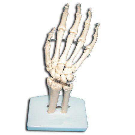 JP-234成人手骨模型(實用的人體模型/人骨模型/骨骼模型/關節模型/教學模型/手掌模型)