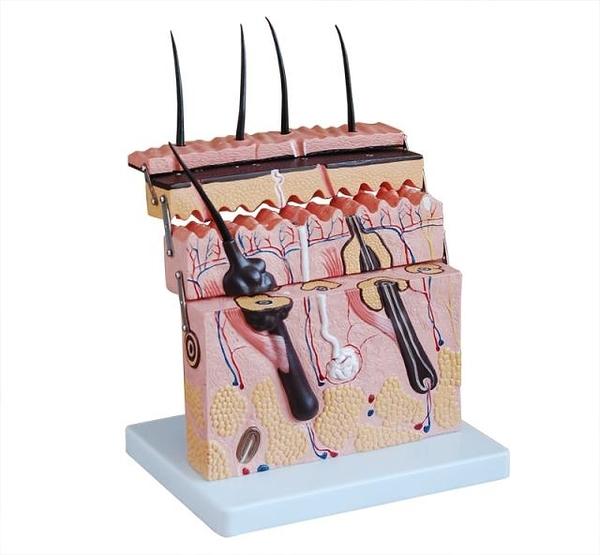 立體皮膚模型 醫學美容整形縫合 皮膚結構放大 層次切面解剖模型
