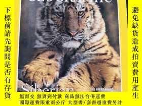 二手書博民逛書店罕見NATIONAL GEOGRAPHIC Siberian Tigers 1997 2(美國國家地理 西伯利亞虎