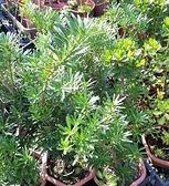花花世界_襯景植物--雀舌羅漢松--為常綠小灌木/6吋盆/TS