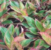 花花世界_桌上盆栽-- 極光粗肋草 ,好照顧--室內適用/7吋盆苗/高20~30公分/Tm
