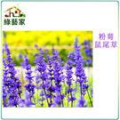 【綠藝家】H17.粉萼鼠尾草種子50顆...