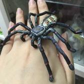 巨蟹蛛仿真 逼真 塑膠動物模型