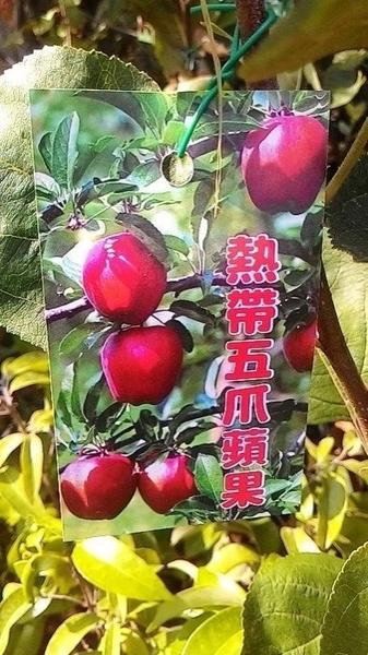 花花世界_水果苗--熱帶五爪蘋果,平地也可結果--好種植 /4吋盆苗/高20-30公分/Tm