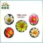 ~綠藝家~大包裝H26 大理花混合色,高30 40cm 種子150 顆