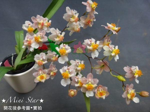 ★Mini Star★ 千姿蘭園Chian-Tzy Orchids  迷你蘭花 文心蘭 Oncidium -千姿小陽春