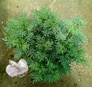 [大芸香盆栽] 5-6吋盆活體香草植物盆栽, 可食用可泡茶可防螞蟻