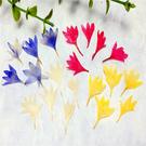 矢車菊 翠蘭,壓花材料,一包20朵
