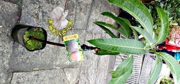 [金煌芒果樹苗] 4寸黑盆 室外多年生果樹盆栽 種地上才會比較快結果