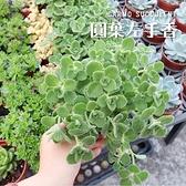 〔超值爆盆〕CARMO圓葉左手香多肉植物成株(3吋) 新手 夏日【Z0129】