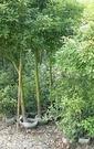 花花世界_喬木植物--樟樹--優良造景樹種/常綠大喬木/高約2米/Tm