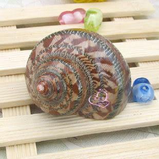 貓眼蠑螺5-6CM 拍攝道具 寄居蟹用 海洋風情 批發10個價