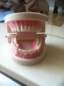 牙科材料/齒科耗材/口腔器械/牙科教學模型假牙模型 牙科牙齒模型