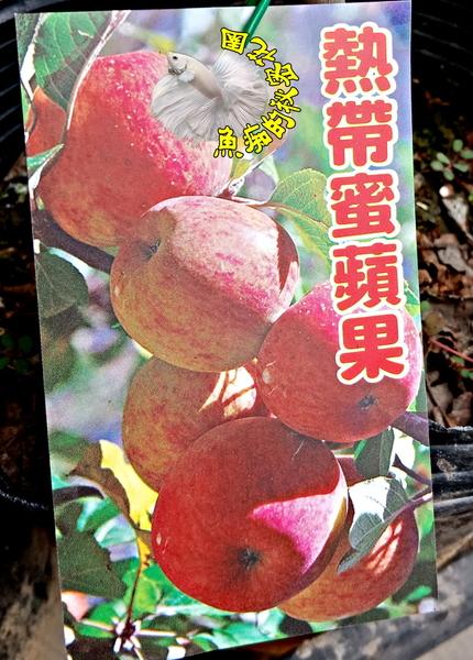 [熱帶蜜蘋果盆栽] 蘋果苗 小蘋果樹苗 4寸黑軟盆 室外觀賞果樹盆栽 換大盆或種地上快結果
