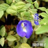 〔台灣小農〕CARMO蝶豆花種子 園藝種子(10顆)【FR0004】