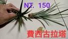 [費西古拉塔] 活體空氣鳳梨 空鳳植栽 ...