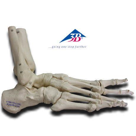 A31德國3B成人腳骨模型(實用的人體模型/人骨模型/骨骼模型/關節模型/教學模型/腳部模型/腳踝模型)