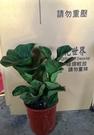 花花世界_室內盆栽--琴葉榕,葉片大形-...