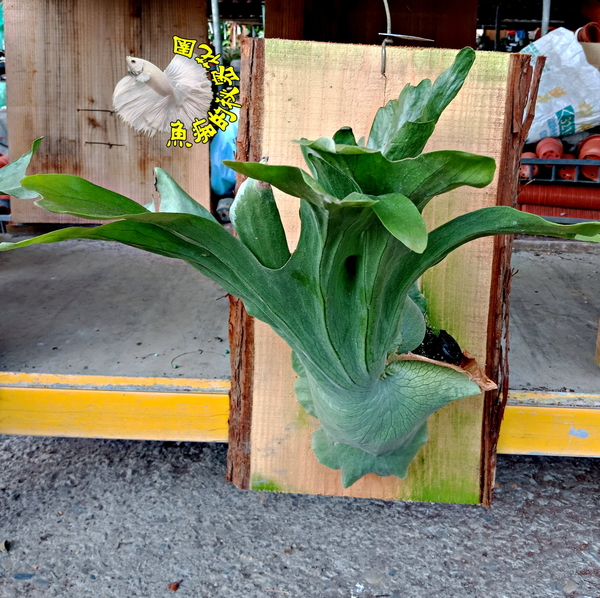 [懸掛式 女王鹿角蕨木板盆栽] 室外/室內植物 多年生觀葉盆栽 種越久長越大