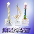 彩色人體脊柱模型 醫學正骨練習骨骼模型頸椎腰椎脊椎骨架模型