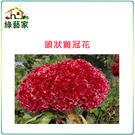 【綠藝家】大包裝H24.頭狀雞冠花(紅色...