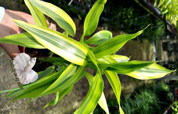 活體 [黃竹 萬年青 開運竹] 室內植物 3吋盆栽 送禮小品盆栽