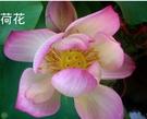 花花世界_水生植物--**荷花(粉白花)--**/大葉種/1尺盆 /TS(不可超取)