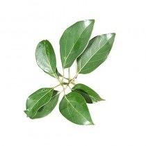Visakha - 白樟樹 White Camphor 單方精油 (10ml)