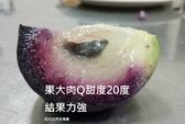 花花世界_水果苗--紫龍860 牛奶果--新品種/4吋盆/高30-40公分/Ts