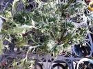 花花世界_室內植物--翡翠山蘇--**鹿角蕨**/4吋/高10CM/TC