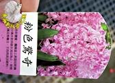 [粉色驚奇] 超香 粉紅色風信子  2.5寸盆 室內濃香花卉 多年生球根類觀賞花卉盆栽