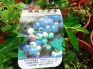 水果苗 ** 暖地小藍莓 ** 6吋盆/...