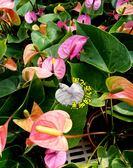 紫精靈火鶴花盆栽季節限定5 吋盆多年 體花卉植物送禮小品盆栽 室外半日照佳