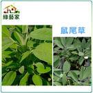 【綠藝家】K16.鼠尾草種子20顆