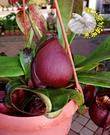 [黑維京蘋果豬籠草 暗紅色豬籠草] 食蟲植物 大豬籠草盆栽 4-5吋盆活體盆栽 半日照佳