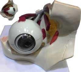 JP-220C三倍大帶週邊結構眼球模型(實用的人體模型/教學模型/解剖模型/護理模型/眼模型/眼睛模型)