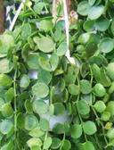 垂掛植物 ** 綠葉串錢藤 ** 3吋盆 / 高10-20公分/ 串串相連葉如銅錢 【花花世界玫瑰園】R