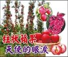 水果苗 ** 柱狀蘋果(天使的眼淚) ** 4吋盆/高15-20cm/紅肉.紅葉、紅花紅寶石蘋果【花花世界玫瑰園】m