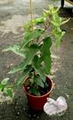 [檸檬胺 防蚊樹] 5-6吋盆 室外植物...