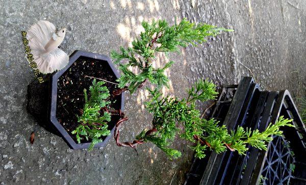[S型雕塑真柏盆栽]  4-5吋八角盆活體盆栽 送禮小品盆栽
