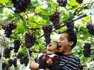 [台中]採果體驗-新峰農場〔2-4月枇杷...
