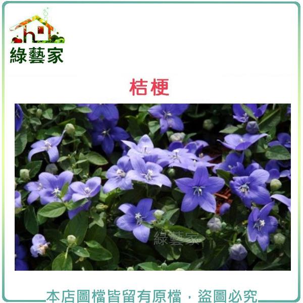 【綠藝家】H35.桔梗(高30~50cm)種子
