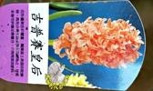 [吉普賽皇后]超香 橘色風信子 2.5寸盆 室內濃香花卉 多年生球根類觀賞花卉盆栽