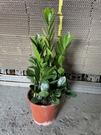 花花世界_室內植物--金錢樹**葉子油亮清淨空氣**--/5吋盆/高20~30cm/TC
