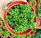 活體 [ 達摩七里香 細葉七里香 ] 室外植物 3.5吋盆栽 送禮盆栽
