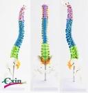 尺寸兩種以上請詢問報價彩色人體脊椎45c...