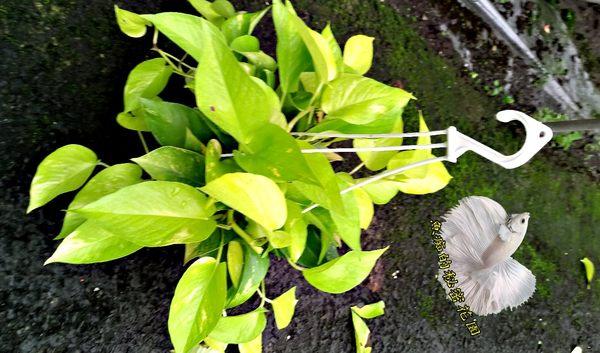 [陽光黃金葛盆栽] 5吋吊盆 活體盆栽 室內半日照環境佳皆可 , 送禮盆栽