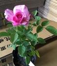 花花世界_玫瑰苗--夢鄉(夢香),Yumeka--強香多花/4吋盆苗/高10-30公分/Tm