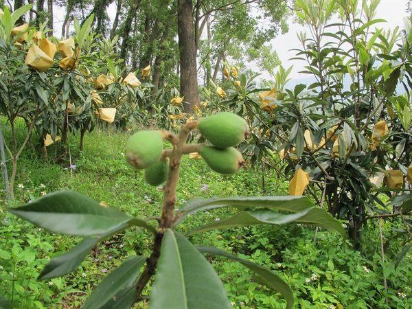 [台中]採果體驗-心禾園(枇杷、梨子、芒果)